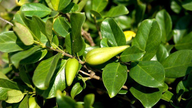 داروی کاهش اشتهای گیاهی - گیمنما