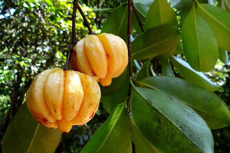 داروی کاهش اشتهای گیاهی گارسینیا کامبوجیا