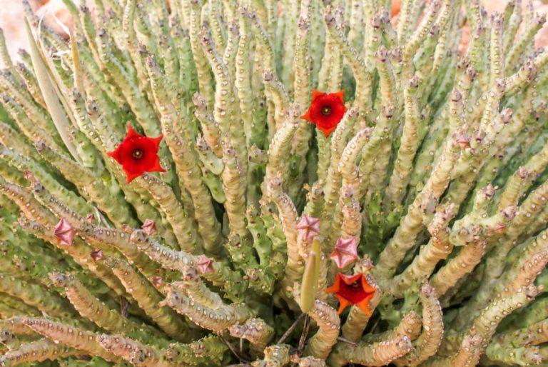 داروی کاهش اشتهای گیاهی - کارالوما فیمبریاتا